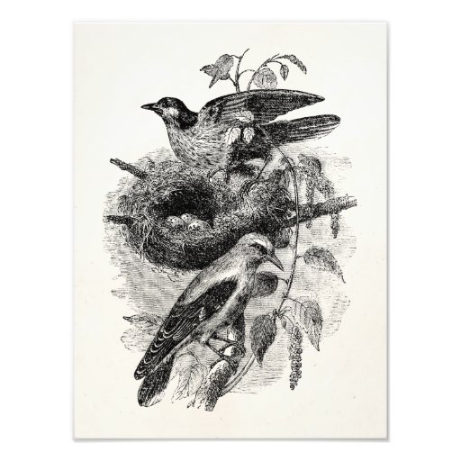Vintage Oriole Pairing Nesting- Birds Template Photo Print