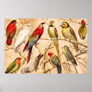 Vintage Parrot Cockatoo Conure Parakeet Cockatiel Poster
