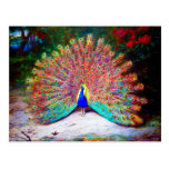 Vintage Peacock Painting Post Card