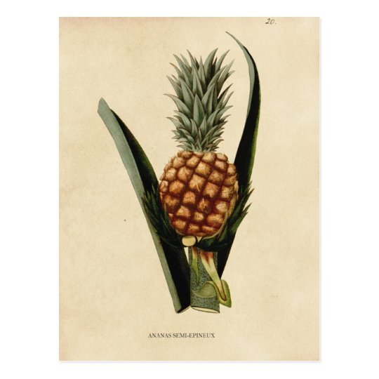 Vintage Pineapple Illustration Postcard
