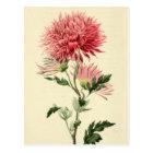 Vintage Pink Chrysanthemum Flower Postcard