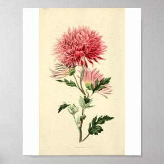Vintage Pink Chrysanthemum Flower Poster