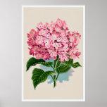 Vintage Pink Hydrangea Flower Print