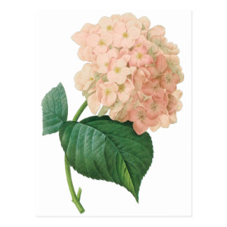 Vintage Pink Hydrangea Hortensia Flower by Redoute Postcard