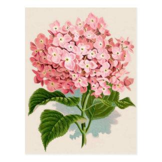 Vintage Pink Hydrangea Postcard