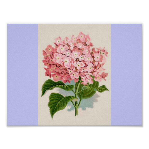 Vintage Pink Hydrangea Posters