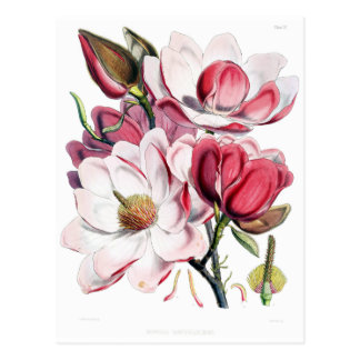 Vintage Pink Magnolia Flower Botany Illustration Postcard