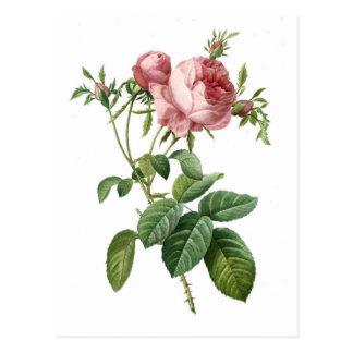 Vintage pink rose botanical illustration, Redoute Postcard