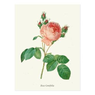 Vintage Pink Rose Botanical Print Postcard