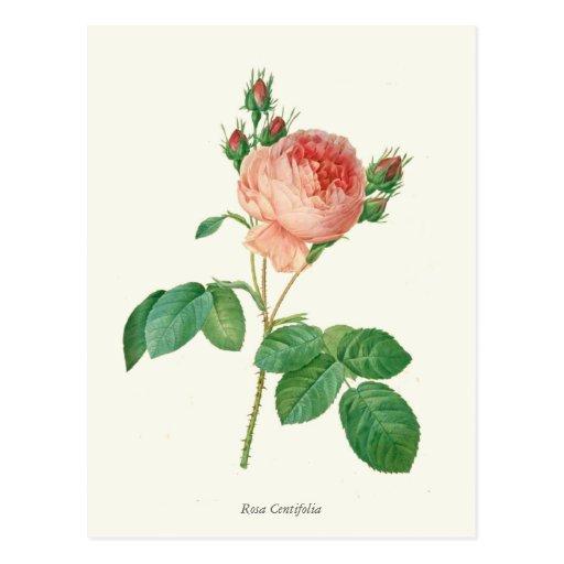 Vintage Pink Rose Botanical Print Post Cards
