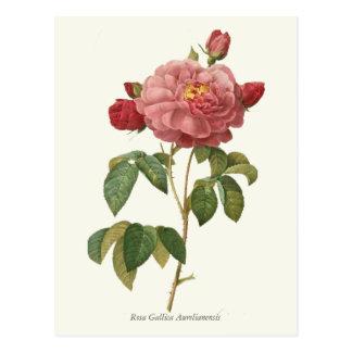 Vintage Pink Rose Botanical Print Postcards