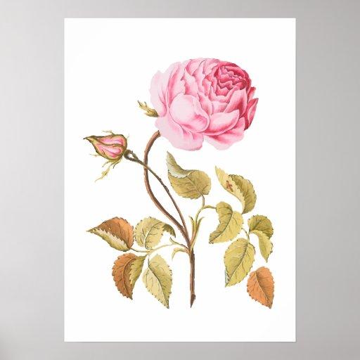 Vintage Pink Rose Botanical Print