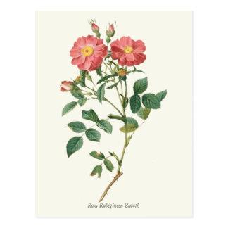 Vintage Pink Roses Botanical Print Postcard