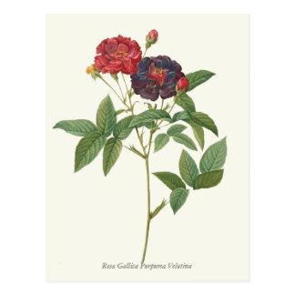 Vintage Red and Purple Roses Botanical Print Postcard