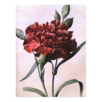 Vintage Red Carnation Postcard