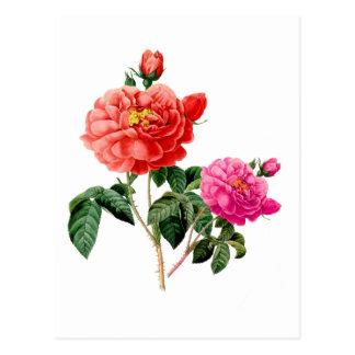 Vintage red, pink rose botanical illustration postcard