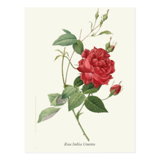 Vintage Red Rose Botanical Print Postcard