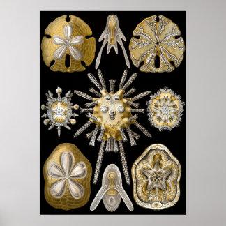 Vintage Sand Dollars Sea Urchins by Ernst Haeckel Poster