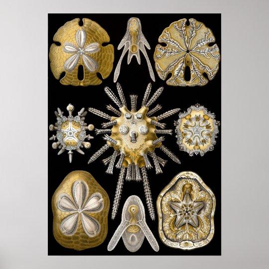 Vintage Sand Dollars Sea Urchins by Ernst Haeckel