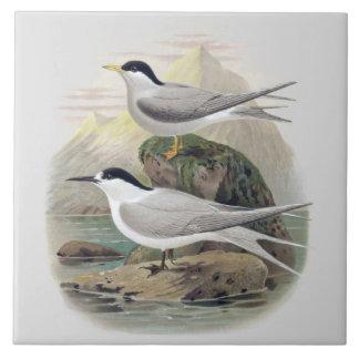 Vintage Science NZ Birds - Black-Fronted Tern Large Square Tile