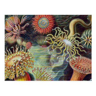 Vintage sea anemones scientific illustration postcard