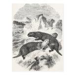 Vintage Sea Otters 1800s Otter Illustration Post Cards
