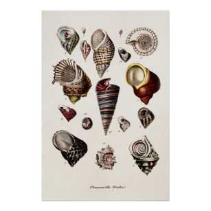 Vintage Sea Shells Personalised Retro Auger Shell Poster