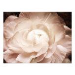 Vintage Sepia White & Cream Ranunculus Background