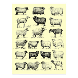 Vintage Sheep Postcard