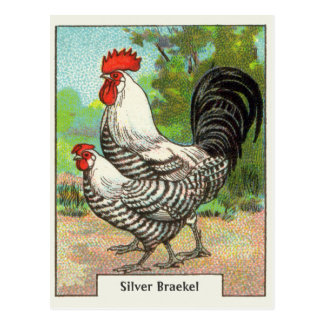 Vintage Silver Braekel Chicken Postcard