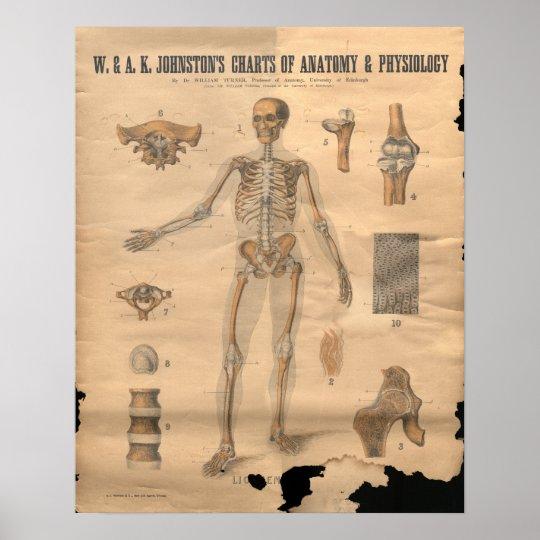 Vintage Skeletal Bones Anatomy Chart 1906 Poster