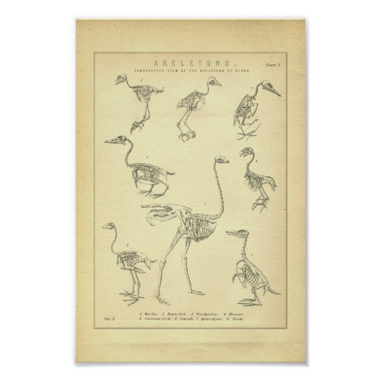 Vintage Skeletons of Birds Print
