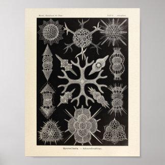 Vintage Spumellaria Ernst Haeckel Art Print