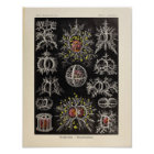 Vintage Stephoidea Colour Ernst Haeckel Art Print