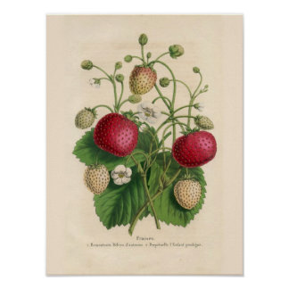Vintage Strawberries Poster