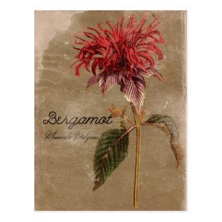 Vintage Style Bergamot Plant Flower Postcard