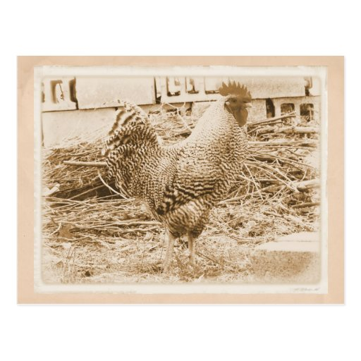 Vintage Style Rooster Photograph Postcard