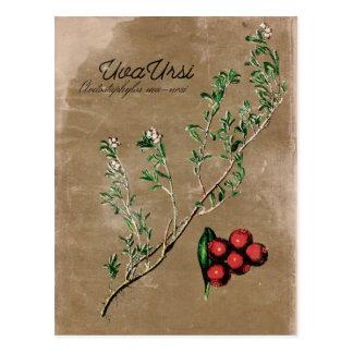Vintage Style Uva Ursi Plant Postcard