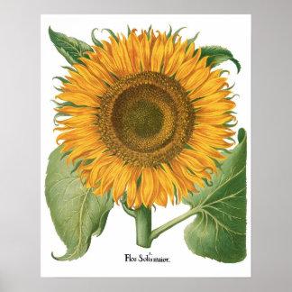 Vintage Sunflower Flower by Basilius Besler Poster