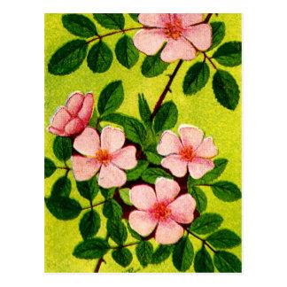 Vintage Sweetbriar Rose Image Postcard