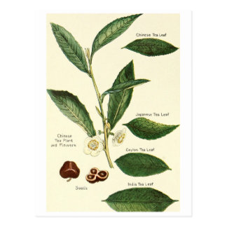 Vintage tea leaf illustration postcard recipe card