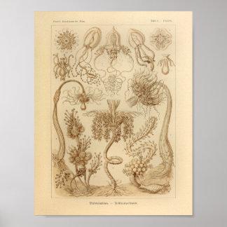 Vintage Tubulariae Color Ernst Haeckel Print
