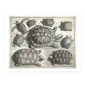 Vintage Turtle Etching Postcard