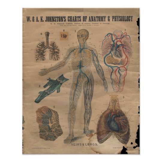 Vintage Veins Circulatory Anatomy Chart 1906