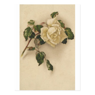 Vintage white rose postcard