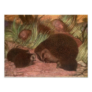 Vintage Wild Animals, Hedgehogs by Louis Sargent Poster