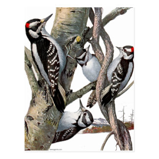 Vintage Woodpeckers Postcard