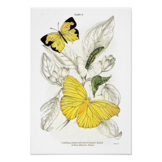 Vintage Yellow Butterflies   Vintage Insects Poster