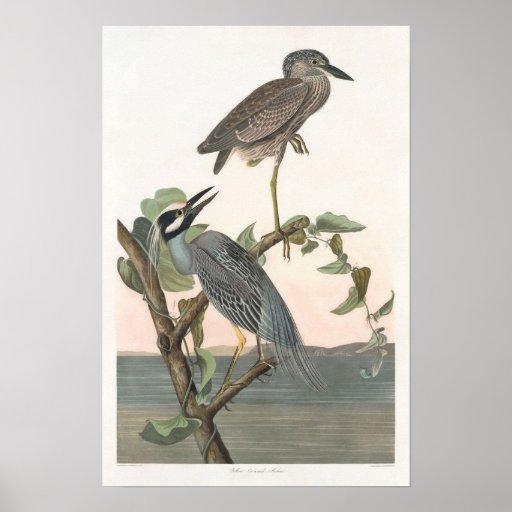 Vintage Yellow-crowned Night-heron Poster Print