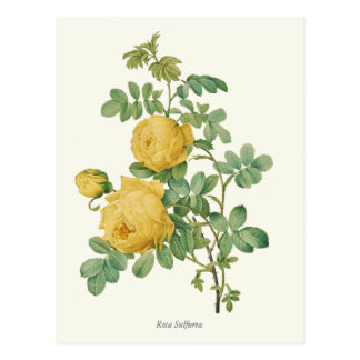 Vintage Yellow Rose Botanical Print Postcard